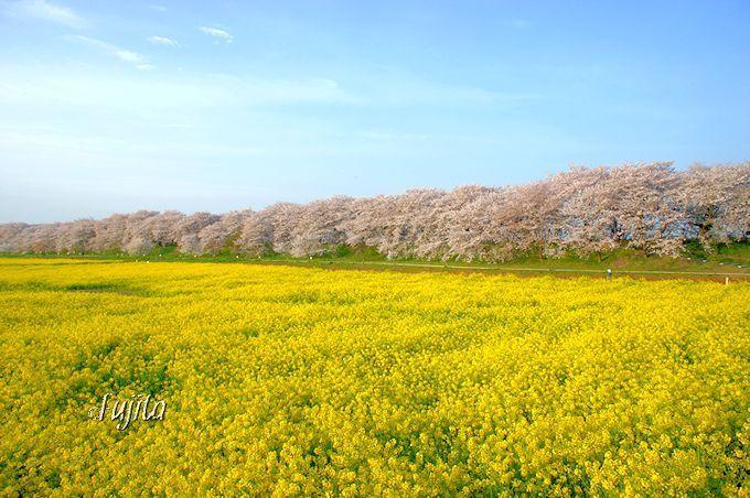 権現堂桜堤は「桜と菜の花」の絶景