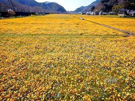 目を疑う程大規模!西伊豆・松崎町「田んぼをつかった花畑」6種の花が順次咲く絶景