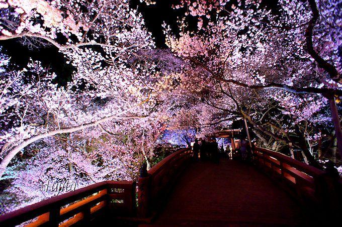 高遠城址公園の夜桜は、桜が浮かび上がり幻想的