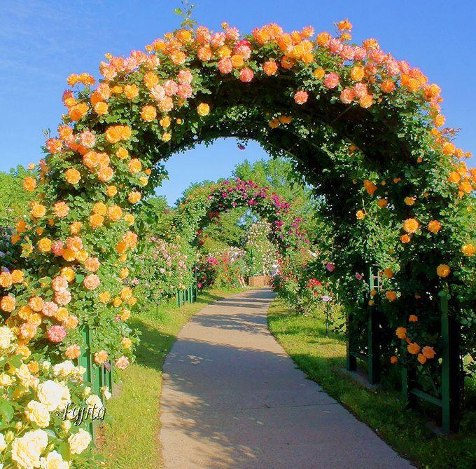 京成バラ園の最盛期は、バラのアーチで分かります