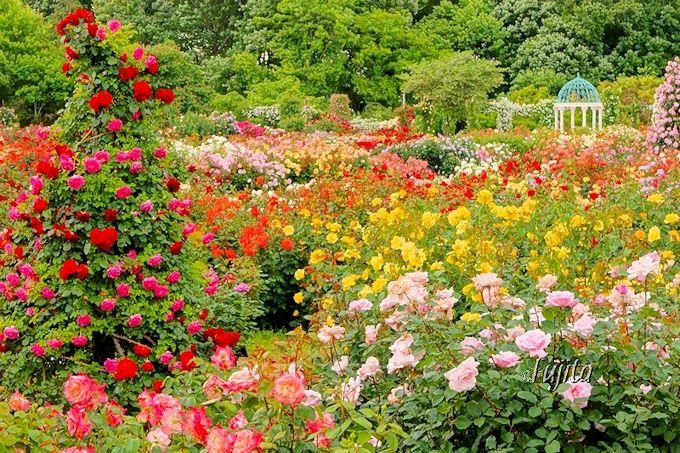 京成バラ園の春は、バラで埋め尽くされる凄まじい絶景!