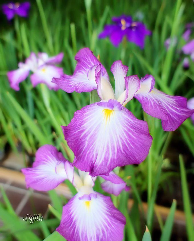 湯河原温泉でホタル鑑賞した後は、同時開催の花菖蒲展も楽しもう!
