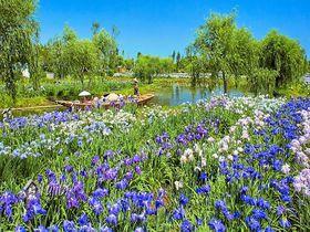 水郷佐原あやめパーク「あやめ祭り」で花菖蒲の絶景を舟から一望!