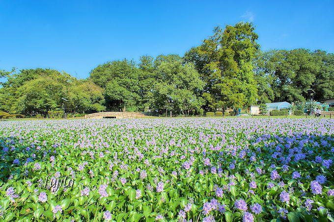 ホテイアオイが池を紫に埋め尽くす!行田市・水城公園の奇跡的な絶景 ...