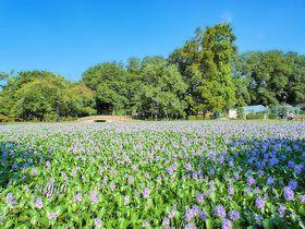 ホテイアオイが池を紫に埋め尽くす!行田市・水城公園の奇跡的な絶景