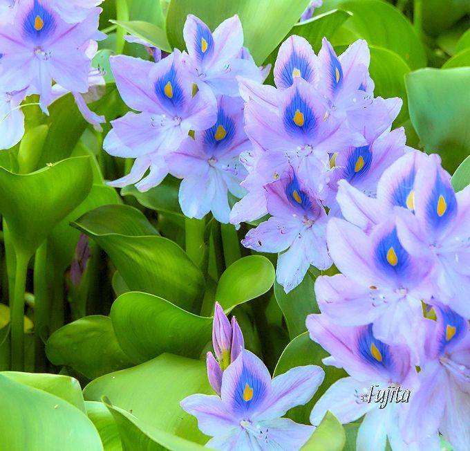 行田市の水城公園でホテイアオイの美しい紫の花を見る!
