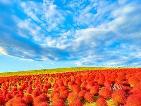 夕陽に輝くコキアの紅葉!ひたち海浜公園コキアカーニバル絶景攻略法