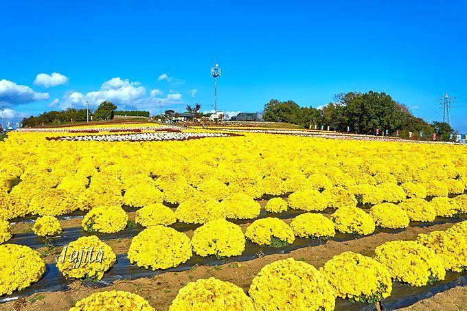 青空と菊の黄色がインスタ映え!