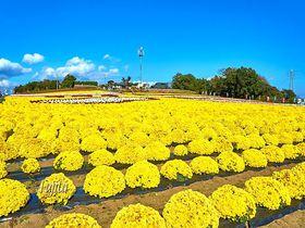 山一面の小菊が絶景!群馬の観光地「あかぼり小菊の里」