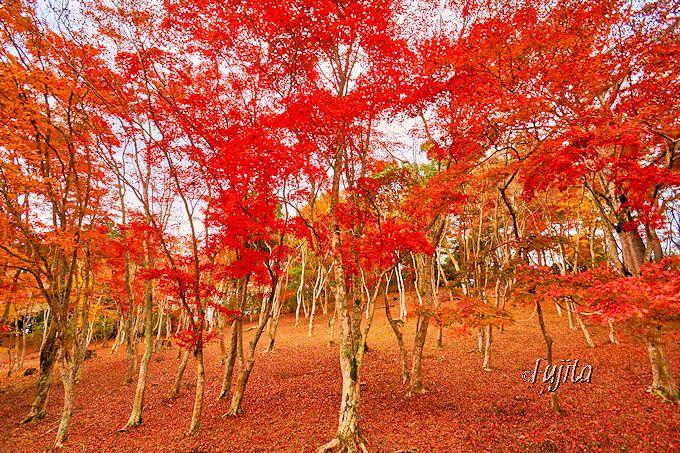 林の木が全部紅葉する!修善寺自然公園もみじ林