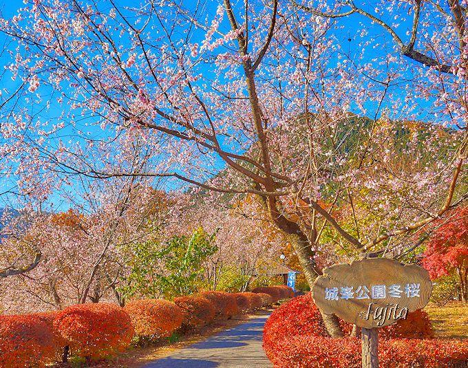 城峯公園の冬桜は、紅葉見頃に満開になります!