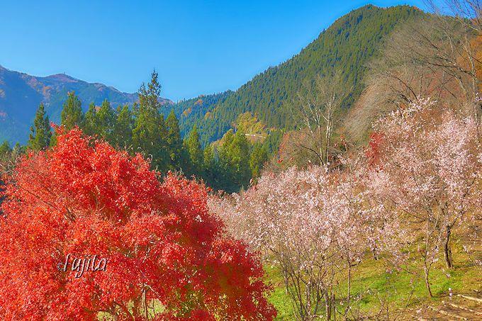 城峯公園の展望台から、紅葉と冬桜を一望