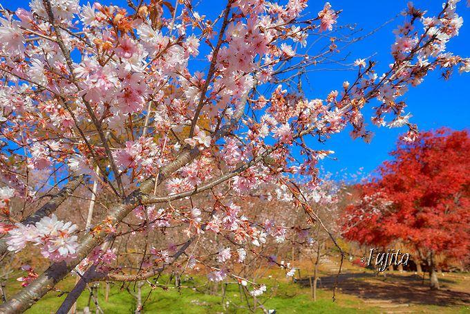 城峯公園の冬桜は、アップでも綺麗!背景には紅葉もお忘れなく