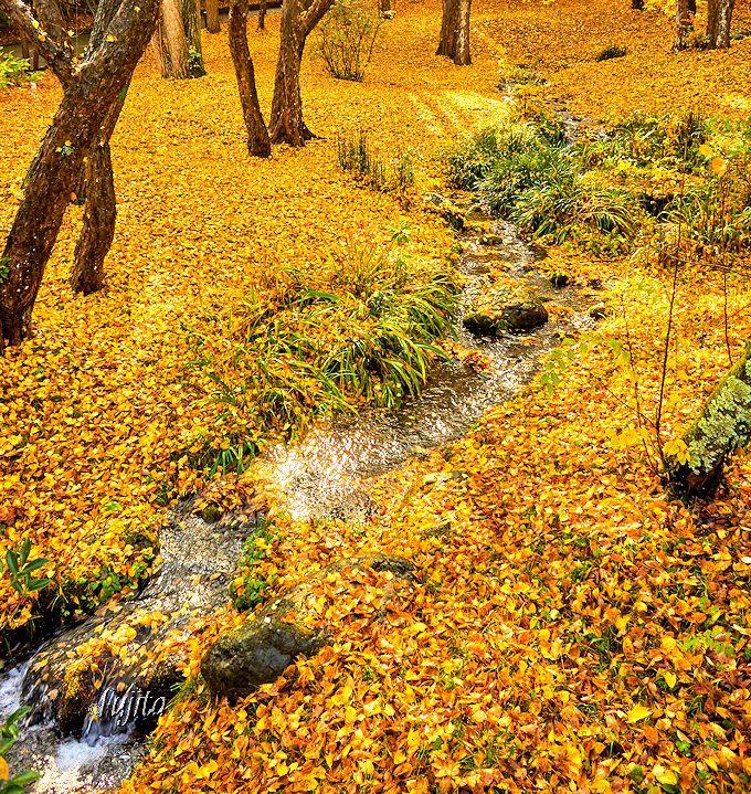 成田山公園「竜智の池」南側の敷き紅葉(散り紅葉)
