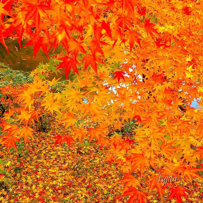 千葉県で一番早く一番遅い紅葉?成田山公園は晩秋も紅葉見頃!