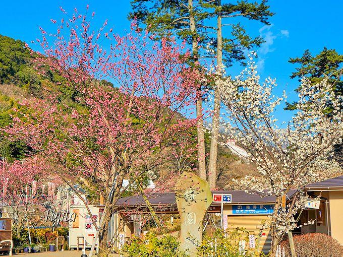 熱海梅園「梅まつり」の絶景・第5位は紅梅と白梅のコラボ