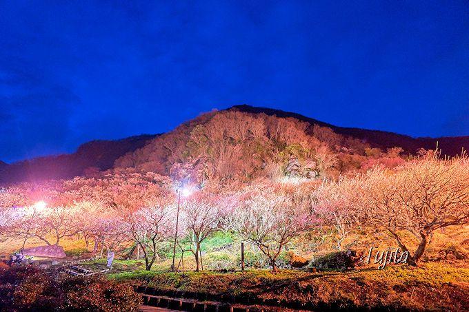 湯河原梅林のライトアップ全景