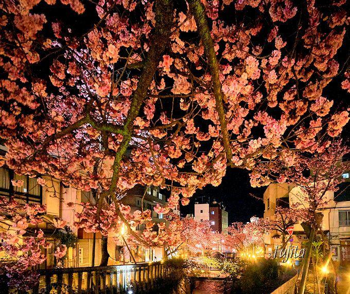 見頃は2月中旬!熱海温泉「糸川桜まつり」早春の夜桜ライトアップ