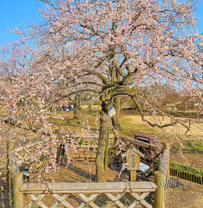 偕楽園「水戸の梅まつり」は六銘木に注目!