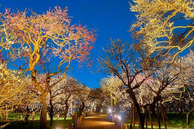 梅のライトアップは日没直後から必見!