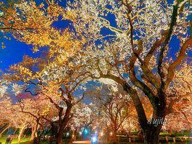 偕楽園「水戸の梅まつり」は絶景のライトアップまで見よう!