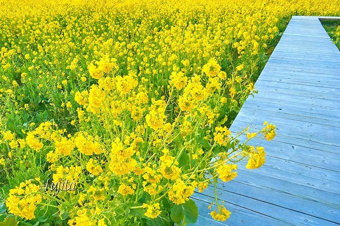 菜の花の散歩道!南伊豆町「みなみの桜と菜の花まつり」