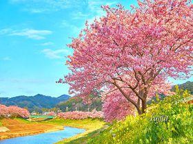河津桜の絶景!南伊豆町「みなみの桜と菜の花まつり」が美しい6つの理由