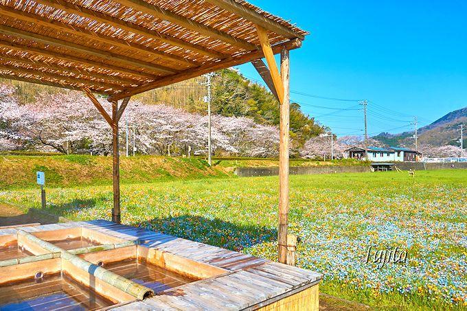 松崎温泉の足湯から桜並木と花畑を一望!