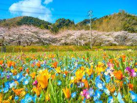 那賀川堤の桜が美しい!西伊豆・松崎町の桜並木は花畑とコラボ