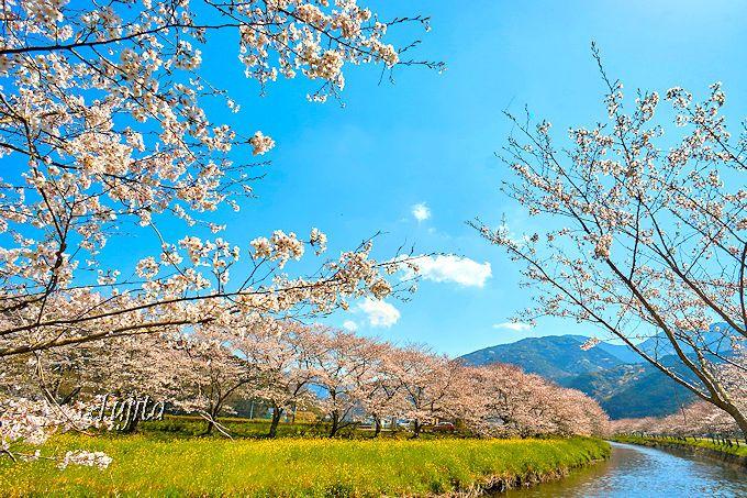 松崎町「那賀川堤の桜並木」は、桜と菜の花と川のコラボも美しい!