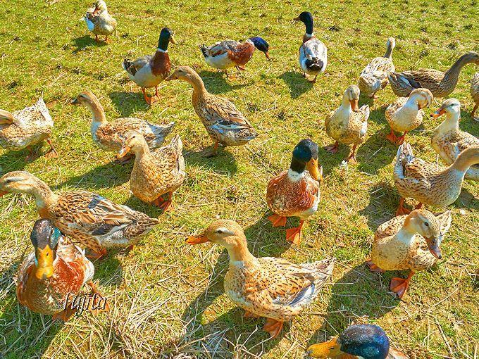 花畑の奥では鴨にも会える!