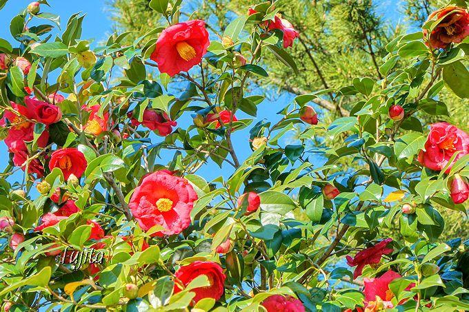 品種を覚えたら、つばき園内を散策!小室山公園「つばき鑑賞会」