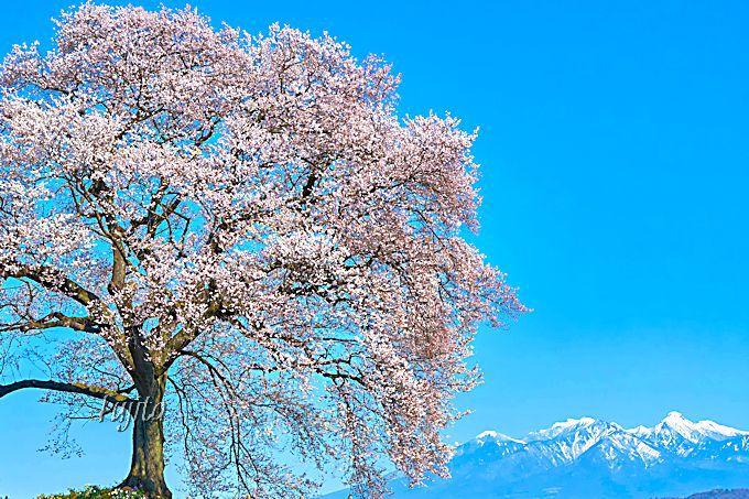 わに塚の桜と八ヶ岳のコラボは代表的な絶景!