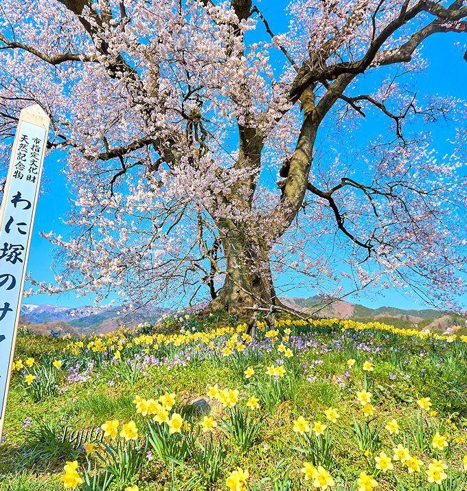 至近距離も必見!桜と水仙のコラボ