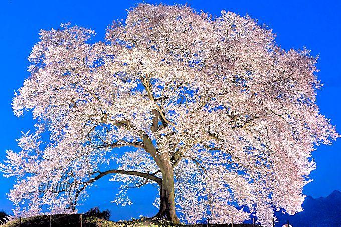 わに塚の桜のライトアップは純白に光り輝く!