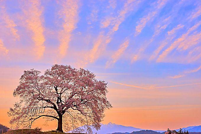ライトアップ前に見たい!桜と夕焼けのコラボ