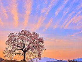 一日で七変化?山梨「わに塚の桜」絶景コラボ一挙紹介