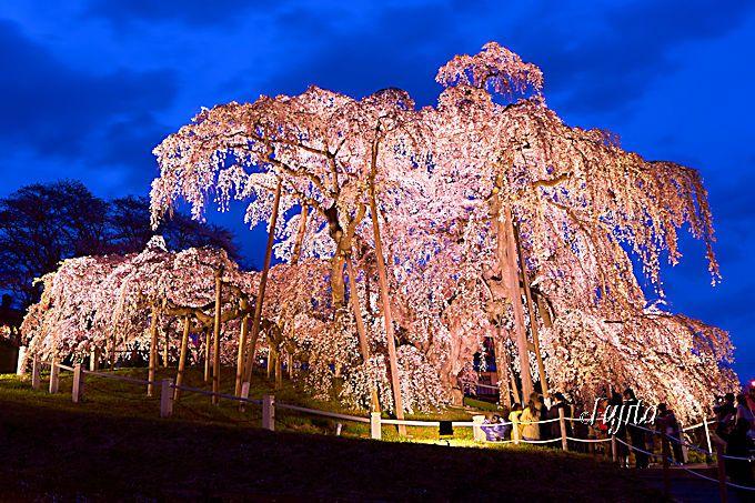 三春滝桜を一度は見よう!大人気一本桜の花見攻略法