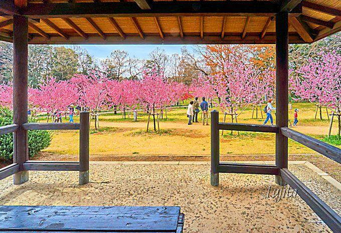 花桃の品種の違いを楽しめます!