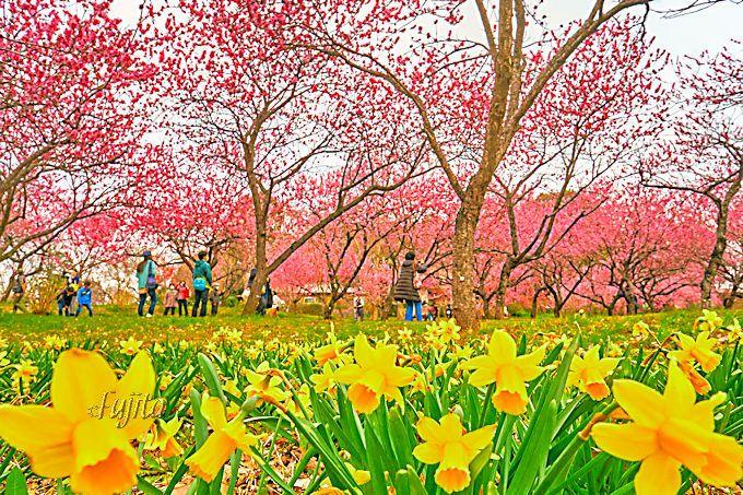 桃林と水仙のコラボは、まさに桃源郷!