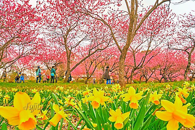 一面の桃林が美しい!茨城「古河桃まつり」は日本一の花桃の里