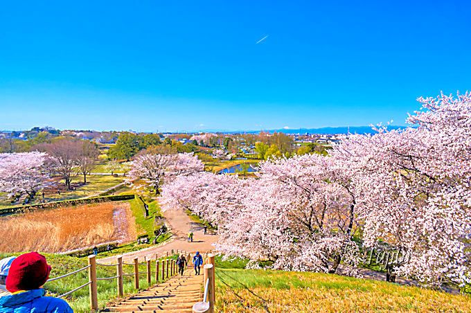 丸墓山古墳から、石田堤の桜並木を一望!さきたま古墳公園