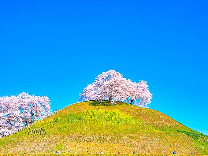 まるで桜の美術作品!埼玉県行田市・さきたま古墳公園のアートな花見