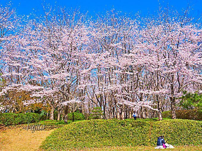 佐倉城址公園で桜のお花見!