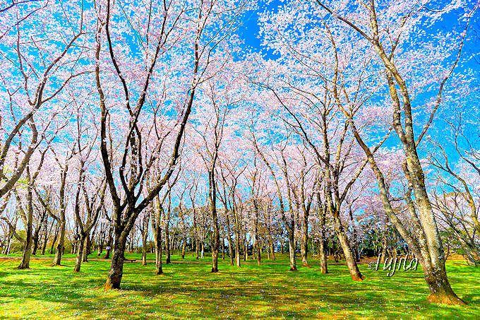 桜の林の絶景が素晴らしい!