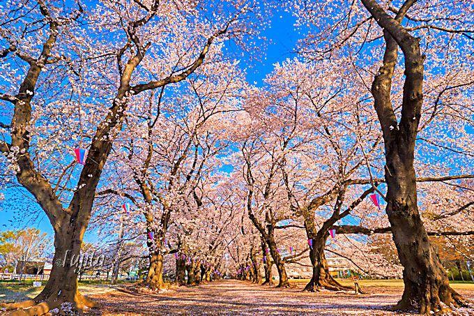 無線山桜並木は巨木の樹形が美しい!