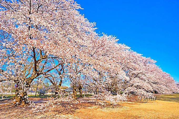 桜並木の外側は巨大な壁状態!