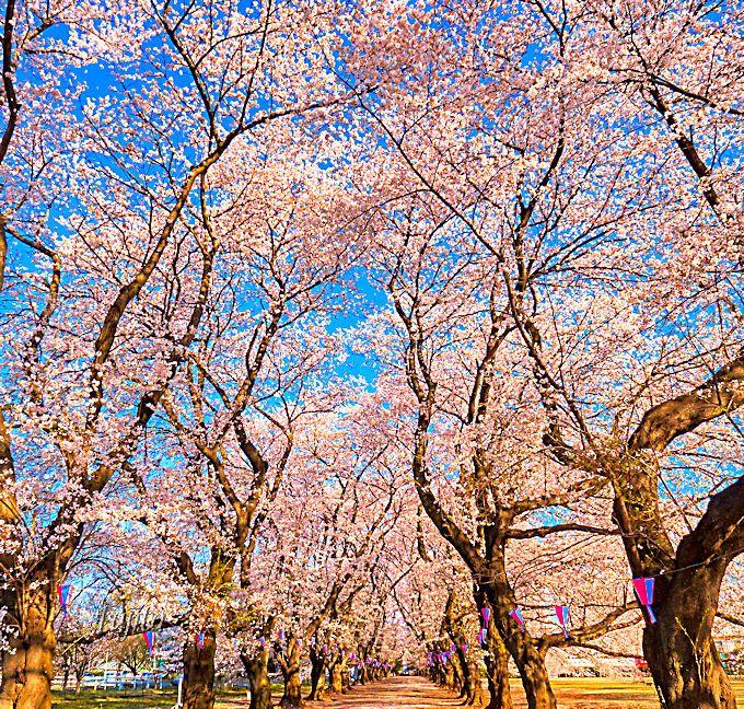 何処までも続く桜のトンネル!