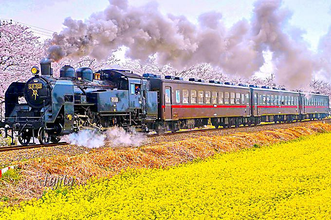 桜と菜の花とSLがコラボ!栃木・真岡鐵道