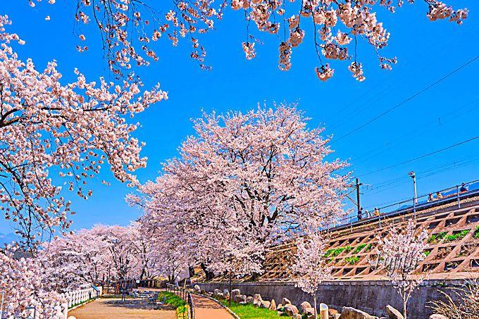 まさに桜の駅!甚六桜に囲まれた勝沼ぶどう郷駅